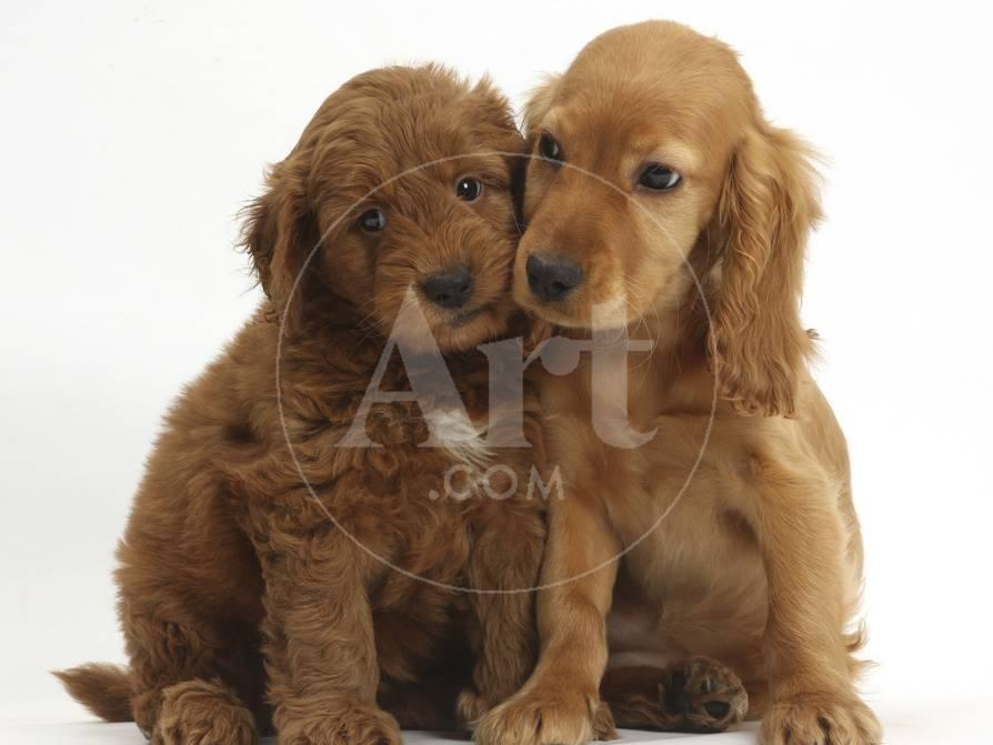 Puppy Love Golden Cocker Spaniel Puppy Maizy Snuggling Up To A Red F1b Goldendoodle Puppy