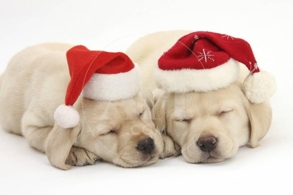 Sleeping Yellow Labrador Retriever Puppies, 8 Weeks, Wearing Father ...