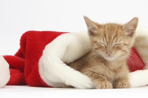 Sleepy Ginger Kitten
