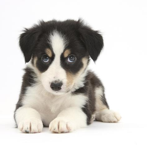 Tricolour Border Collie Puppy Lying