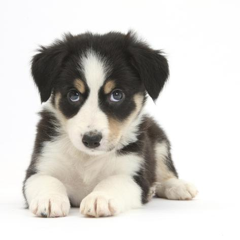 Tricolour Border Collie Puppy Photographic Print By Mark Taylor At