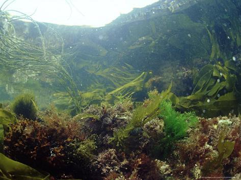 Sea Weeds in Rock Pool, UK Stampa fotografica