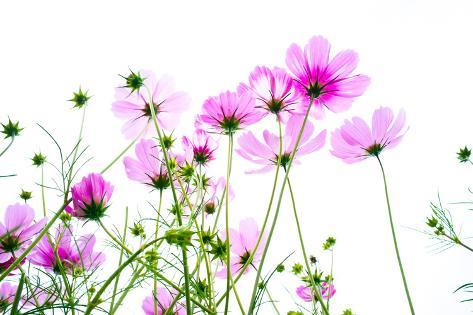 Cosmos Flowers Photographic Print