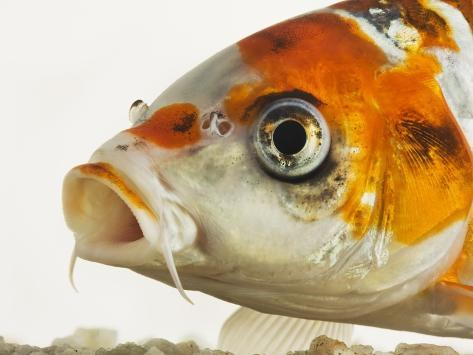 Face of koi fish Photographic Print