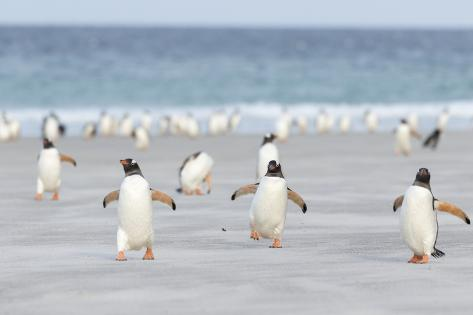 Gentoo Penguin Walking to their Rookery, Falkland Islands Stampa fotografica