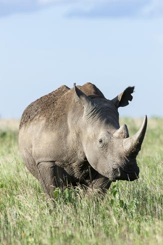White Rhinoceros, Kenya Photographic Print