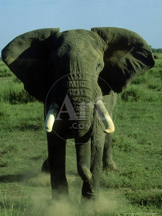 Thong Koon Is Still In Musth So He Not Brought To The Center His Mahout Goes Check On Him Twice A Day Make Sure Has Water And Food
