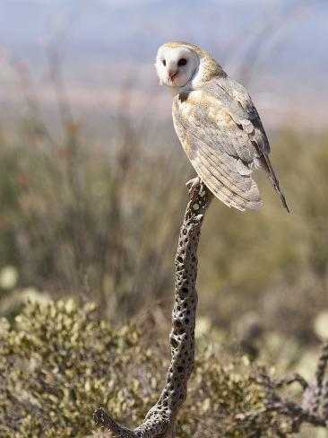 Barn Owl (Tyto Alba), Arizona, USA, Controlled Situation Photographic Print