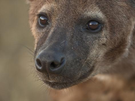 Spotted Hyena Face (Crocuta Crocuta), Ngorongoro Crater, Tanzania Photographic Print