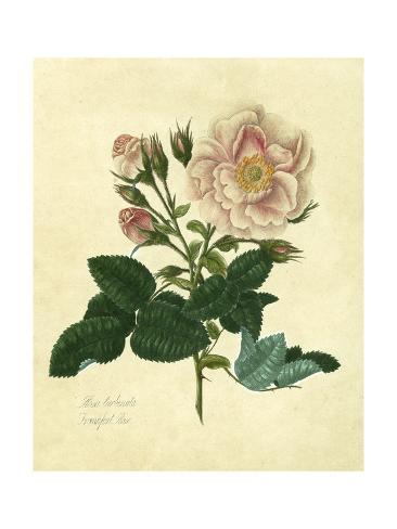 Frankfort Rose Lámina