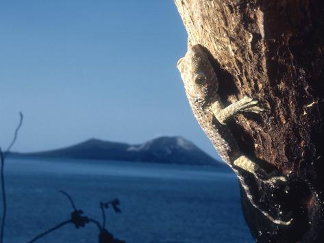 Tokay Gecko, Krakatoa, Indonesia Photographic Print