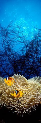 Mat Anemone and Allard's Anemonefish in the Ocean Photographic Print