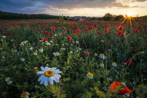 A Field Of Flowers In Monteriggioni Fotoprint Van Matt Propert Bij