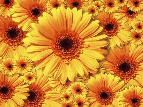 Sun flowers Giclee Print