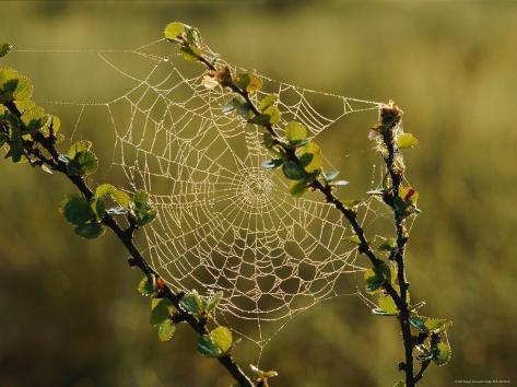 A Dewy Spider Web on a Dwarf Birch Tree Photographic Print