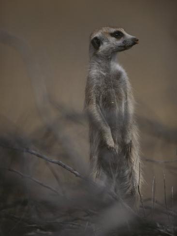 An Adult Meerkat (Suricata Suricatta) Stands on Lookout Photographic Print