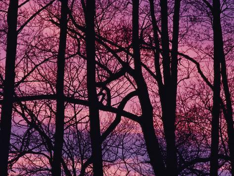 Detail of Bare Trees Silhouetted against a Deep Rose Sky Photographic Print