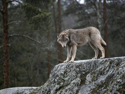 Wolf on Rock Photographic Print