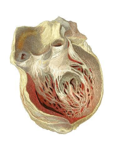 Heart Anatomy, Artwork Valokuvavedos
