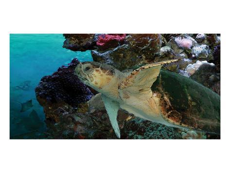 Sea Turtle II Premium Giclee Print