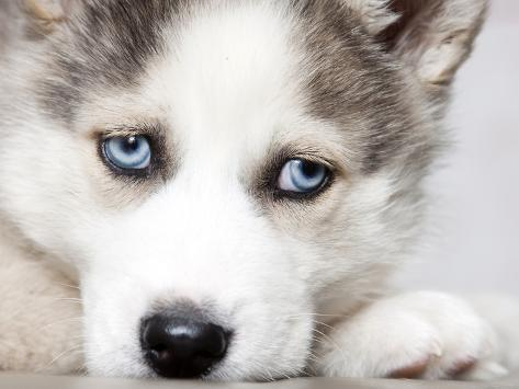 Close Up On Blue Eyes Of Cute Siberian Husky Puppy Photographic