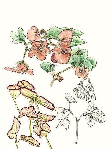 Begonia Study Stampa artistica