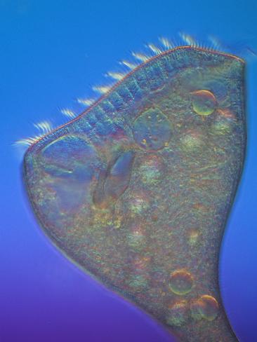 Living Stentor Coeruleus Ciliate Protozoan, LM X63 Photographic Print
