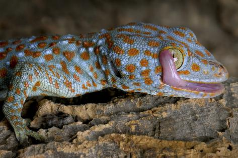 the tokay gecko gekko gecko licking its eye captive from asia