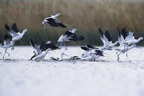 A Flock of Migrating American Avocets Rise of Of a Wetland Valokuvavedos