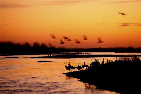 Sandhill Cranes Roost on the Banks of the Platte River Valokuvavedos