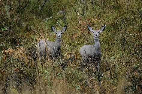 Two Mule Deer Peek Out of the Prairie Valokuvavedos