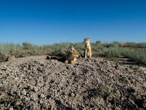 Two Swift Fox Kits Near their Den Site Valokuvavedos