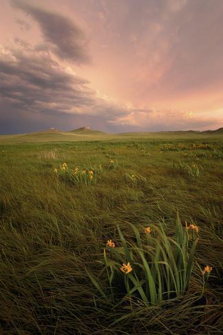 Wild Iris Flowers Grow in Long Prairie Grass Valokuvavedos
