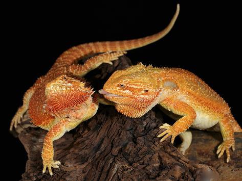 Bearded Dragon (Pogona Vitticeps), Captive Photographic Print
