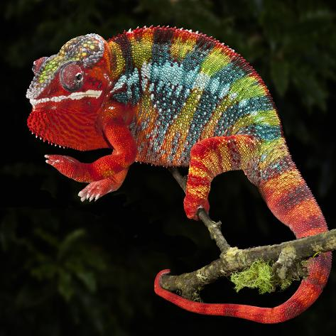 Panther Chameleon (Furcifer Pardalis), Captive Photographic Print