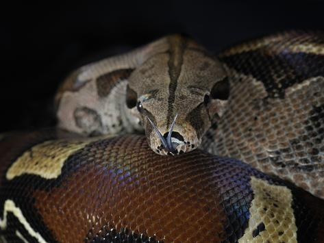 Red Tailed Boa (Boa Constrictor Constrictor), Captive Photographic Print