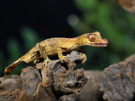 Satanic Leaf-Tailed Gecko (Uroplatus Phantasticus), Captive Photographic Print