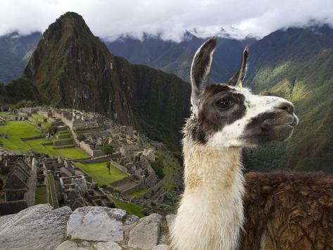 A Llama on a Road Above Machu Picchu Photographic Print