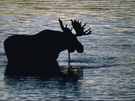 Alce vadeando un lago, silueta de su cuerpo contra el agua Lámina fotográfica