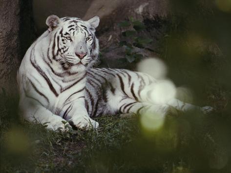 A Rare White Tiger at the Cincinnati Zoo Photographic Print