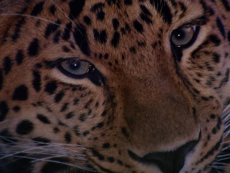 An Amur Leopard at the Minnesota Zoological Garden Photographic Print