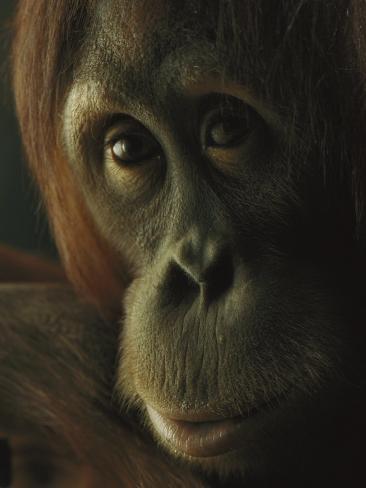 Female Orangutan Photographic Print