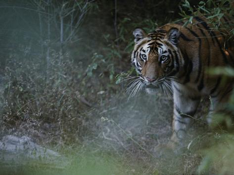 Tiger in the Bush Photographic Print