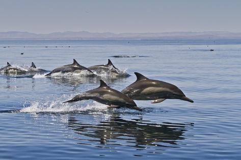 Long-Beaked Common Dolphins, Isla San Esteban, Gulf of California (Sea of Cortez), Mexico Photographic Print