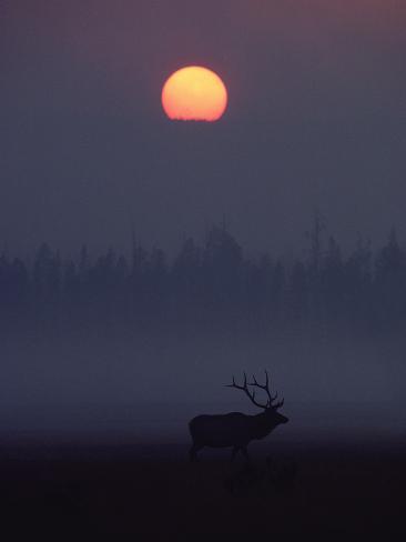 Elk or Wapiti (Cervus Elaphus) Silhouetted on Smoky Horizon, Yellowstone, Wyoming Photographic Print
