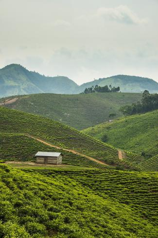 オールポスターズの エリック マイケルズ tea plantation in the