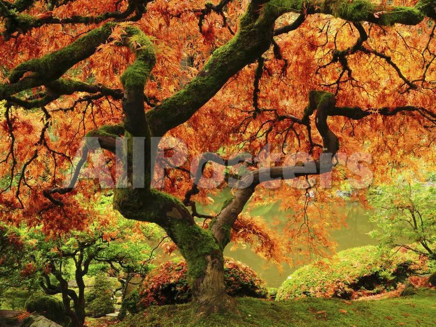 Japanese Maple In Full Fall Color Portland Japanese Garden