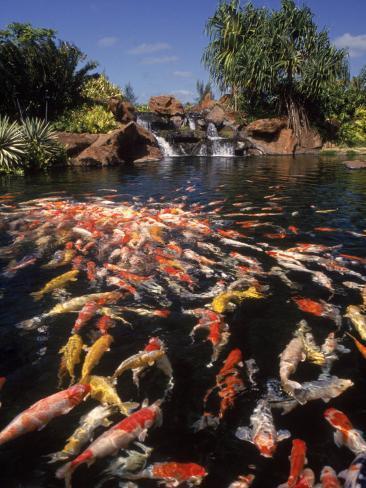 Koi Pond at Hyatt Regency, Kauai, HI Photographic Print