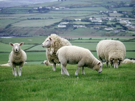 Sheep Grazing in a Pasture Photographic Print