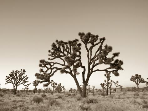 California, Joshua Tree National Park, Joshua Trees, USA Photographic Print